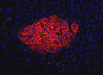 Pancreas Marker HPi1 Antibody - HPi1 Antibody (HIC0-4F9) - HPi1 antibody (HICO-4F9) - Immunofluorescence on frozen section of human pancreas.  This image was taken for the unconjugated form of this product. Other forms have not been tested.