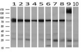 Western blot of extracts (10ug) from 10 Human tissue by using anti-SPG7 monoclonal antibody at 1:200 (1: Testis; 2: Omentum; 3: Uterus; 4: Breast; 5: Brain; 6: Liver; 7: Ovary; 8: Thyroid gland; 9: colon;10: spleen).