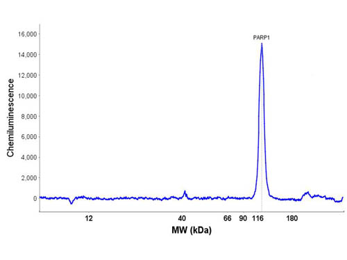 PARP1 Antibody - Peggy Sue Size Separation Electropherogram of OVCAR-8 lysates in no-salt buffer and detected with Anti-PARP1 (internal). UV immobilization time: 250 seconds. Protein concentration: 577 µg/mL; 120 s UV immobilization. Primary antibody concentration: 20µg/mL. Primary antibody incubation time: 180 min. Exposure time: 10 seconds. Predicted/observed: ~116 kDa.