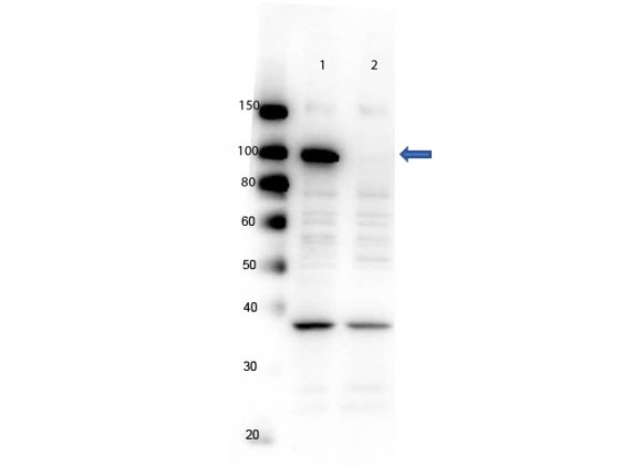 PARP1 Antibody - Western Blot of rabbit Anti-PARP1 (internal) Antibody. Lane 1: Wild Type control lysates. Lane 2: Knock Out control lysates. Load: 5 µg per lane. Primary antibody: PARP1 (internal) antibody at 1:1000 for overnight at 4°C. Secondary antibody: HRP Gt-a-Rb IgG secondary antibody at 1:40,000 for 30 min at RT. Block: MB-070 overnight at 4°C. Predicted/Observed size: ~113kDa endogenous for PARP1. Other band(s): nonspecific ~ 40kDa.