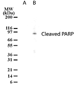 Detection of cleaved PARP in HL-60 cell lysates. Lane A. Untreated HL-60 cells. Lane B. HL-60 cells treated with camptothecin for 12 hrs.