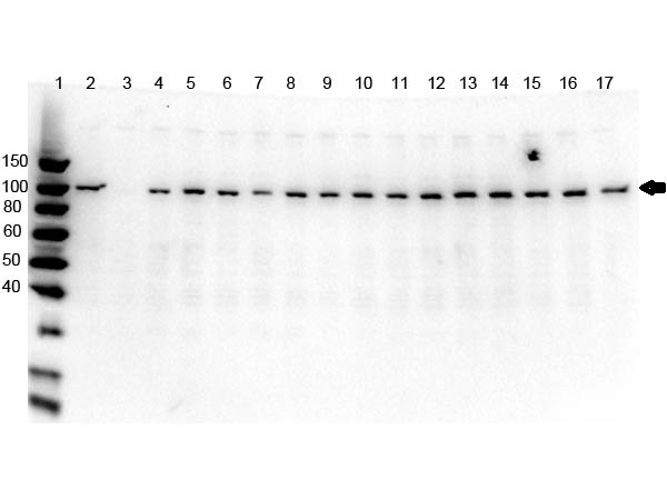 PARP1 Antibody - Western Blot of rabbit anti-PARP1 N-term Antibody. Lane 1: Opal Pre-stained ladder Lane 2: OVCAR-8 Wild Type. Lane 3: PARP1-KO. Lane 4: PARP2-KO. Lane 5: PARP3-KO. Lane 6: PARP4-KO Lane 7: PARP5a-KO. Lane 8: PARP5b-KO. Lane 9: PARP6-KO. Lane 10: PARP7-KO. Lane 11: PARP8-KO. Lane 12: PARP9-KO. Lane 13: PARP10-KO. Lane 14: PARP12-KO. Lane 15: PARP13-KO. Lane 16: PARP14-KO. Lane 17: PARP16-KO. Load: 5.0 µg per lane. Primary antibody: PARP1 n-term antibody at 1ug/mL overnight at 4°C. Secondary antibody: Goat anti-rabbit Peroxidase secondary antibody at 1:40,000 for 30 min at RT. Blocking Buffer: MB-073 for 30 min at RT. Predicted/Observed size: ~113 kDa for PARP1.