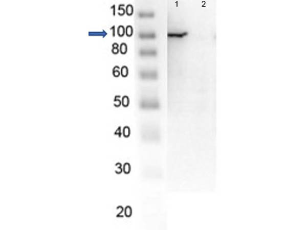 PARP1 Antibody - Western Blot of endogenous PARP1 with Rabbit Anti-PARP1 (N-term ZF1) Antibody. Lane 1: OVCAR8 Wild Type lysate. Lane 2: OVCAR8 PARP1 KO lysate. Load: 5 µg per lane. Primary antibody: PARP1 (N-term ZF1) antibody at 1µg/mL for overnight at 4°C. Secondary antibody: HRP Gt-a-Rb IgG secondary antibody at 1:40,000 for 30 min at RT. Block: MB-070 overnight at 4°C. Predicted/Observed size: 113 kDa for endogenous PARP1. Other band(s): none. Image in collaboration with Phil Lorenzi at MD Anderson.