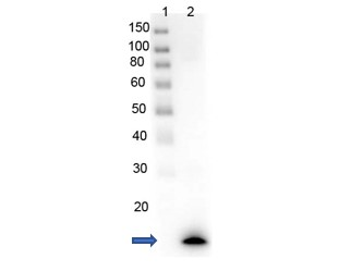 PARP1 Antibody - Western Blot of recombinant PARP1 with rabbit anti-PARP1 (N-term ZF1) antibody. Lane 1: PARP1-Zinc Finger domain recombinant protein. Load: 0.05 µg per lane. Primary antibody: PARP1 (N-term ZF1) antibody at 1µg/mL for overnight at 4°C. Secondary antibody: HRP Gt-a-rabbit secondary antibody at 1:40,000 for 30 min at RT. Block: MB-070 overnight at 4°C. Predicted/Observed size: 13 kDa for rPARP1 (N-term ZF1). Other band(s): none.