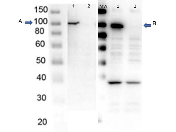 PARP1 Antibody - Western Blot of endogenous PARP1 with Rabbit Anti-PARP1 Antibodies. Lane 1: OVCAR8 Wild Type lysate. Lane 2: OVCAR8 PARP1 KO lysate. Load 5 ? per lane. Primary Antibody: Blot A: Anti-PARP1- n term; Blot B: Anti-PARP1- internal at 1?/mL for overnight at 4?. Secondary antibody: HRP Gt-a-Rb IgG secondary antibody at 1:40,000 for 30 min at RT. Block: MB-070 overnight at 4?. Predicted/Observed size: 113 kDa for endogenous PARP1. Other band(s): nonspecific ~ 40kDa in PARP1-AD only.