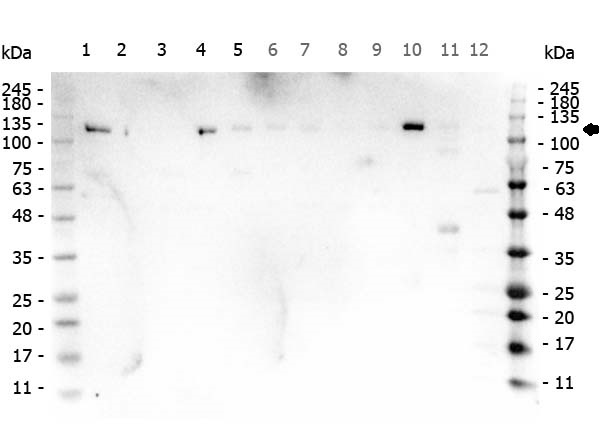 PARP1 Antibody - Western Blot of rabbit anti-PARP1 antibody. Marker: Opal Pre-stained ladder Lane 1: HEK293 lysate Lane 2: HeLa Lysate Lane 3: MCF-7 Lysate Lane 4: Jurkat Lysate Lane 5: A431 Lysate Lane 6: A549 Lysate Lane 7: LNCap Lysate Lane 8: MOLT-4 Lysate Lane 9: Ramos Lysate Lane 10: Raji Lsyate Lane 11: A-172 Lysate Lane 12: NIH/3T3 Lysate Load: 35 µg per lane. Primary antibody: PARP1 antibody at 1ug/mL overnight at 4C. Secondary antibody: Peroxidase rabbit secondary antibody at 1:30,000 for 60 min at RT. Blocking Buffer: 1% Casein-TTBS for 30 min at RT. Predicted/Observed size: 113 kDa for PARP1.
