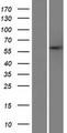 PARPBP / C12orf48 Protein - Western validation with an anti-DDK antibody * L: Control HEK293 lysate R: Over-expression lysate