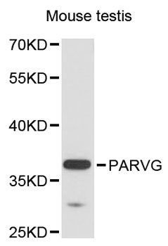 PARVG Antibody - Western blot analysis of extracts of mouse testis, using PARVG antibody at 1:3000 dilution. The secondary antibody used was an HRP Goat Anti-Rabbit IgG (H+L) at 1:10000 dilution. Lysates were loaded 25ug per lane and 3% nonfat dry milk in TBST was used for blocking. An ECL Kit was used for detection and the exposure time was 90s.