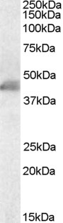 ACTA2 / Smooth Muscle Actin Antibody - Antibody staining (0.1 ug/ml) of Human Duodenum lysate (RIPA buffer, 35 ug total protein per lane). Primary incubated for 1 hour. Detected by Western blot of chemiluminescence.