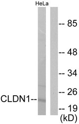 Western blot analysis of lysates from HeLa cells, using Claudin 1 Antibody. The lane on the right is blocked with the synthesized peptide.