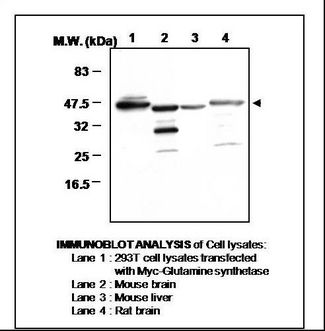 GLUL / Glutamine Synthetase Antibody - Immunoblot Analysis of Cell Lysates