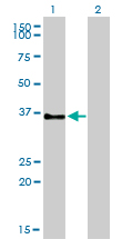 GPR3 Antibody - Western blot of GPR3 expression in transfected 293T cell line by GPR3 monoclonal antibody clone 3B4-G3.