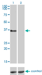 GPR3 Antibody - Western blot of GPR3 over-expressed 293 cell line, cotransfected with GPR3 Validated Chimera RNAi (Lane 2) or non-transfected control (Lane 1). Blot probed with GPR3 monoclonal antibody, clone 3B4-G3. GAPDH ( 36.1 kD ) used as specificity a.