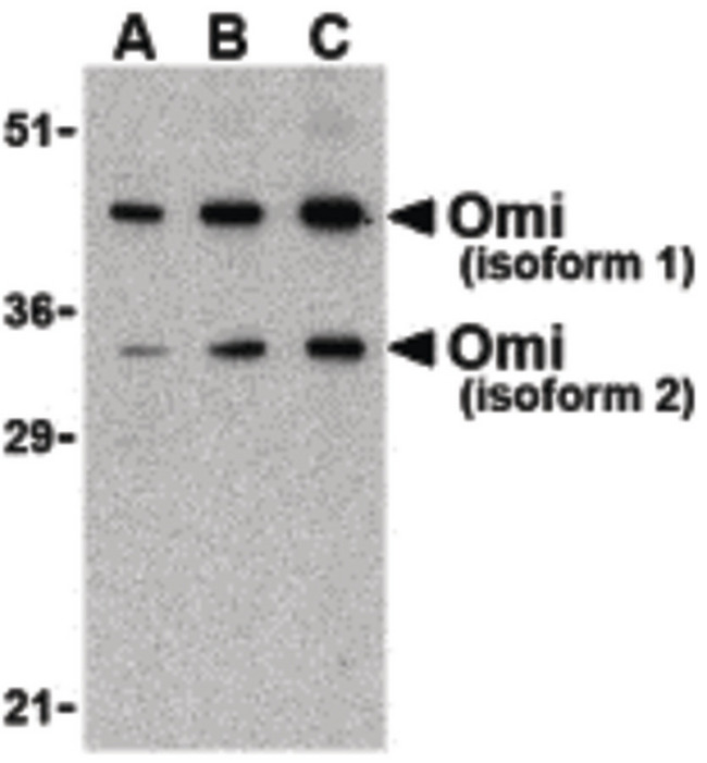HTRA2 / OMI Antibody - Western blot of OMI in U937 lysate with Omi antibody at (A) 0.5, (B) 1, and (C) 2 ug/ml.