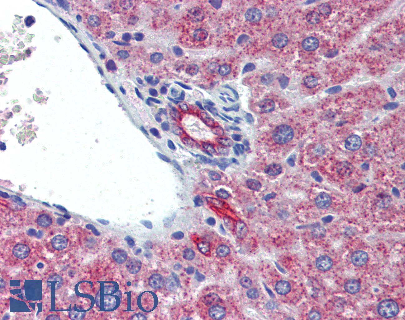 IL23A / IL-23 p19 Antibody - Anti-IL-23 p19 antibody IHC staining of mouse liver. Immunohistochemistry of formalin-fixed, paraffin-embedded tissue after heat-induced antigen retrieval. Antibody concentration 5 ug/ml.