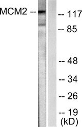 Western blot analysis of lysates from 293 cells, using MCM2 Antibody. The lane on the right is blocked with the synthesized peptide.