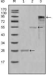 Western blot using MPO mouse monoclonal antibody against truncated Trx-MPO recombinant protein (1),truncated MBP-MPO (aa1-193) recombinant protein (2) and truncated MPO(aa165-745)-hIgGFc transfected CHO-K1 cell lysate(3).