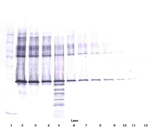 SERPINB5 / Maspin Antibody - Western Blot (reducing) of Maspin antibody