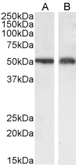 SLC7A11 / XCT Antibody - Goat Anti-SLC7A11 Antibody (0.3µg/ml) staining of A549 (A) and U2OS (B) cell ysate (35µg protein in RIPA buffer). Detected by chemiluminescencence.