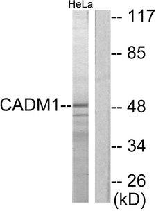 SYNCAM / CADM1 Antibody - Western blot analysis of lysates from HeLa cells, using CADM1 Antibody. The lane on the right is blocked with the synthesized peptide.