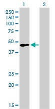 TFAP2A / AP-2 Antibody - Western blot of TFAP2A expression in transfected 293T cell line by TFAP2A monoclonal antibody.