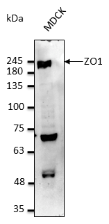 TJP1 / ZO-1 Antibody - Anti-ZO1 Ab at 1:2,500 dilution; 50 ug of total protein per lane; rabbit polyclonal to goat IgG (HRP) at 1:10,000 dilution;