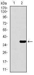 Western blot using PAX3 monoclonal antibody against HEK293 (1) and PAX3 (AA: 142-203)-hIgGFc transfected HEK293 (2) cell lysate.