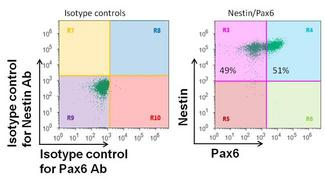 PAX6 Antibody - Flow cytometry analysis of Pax6 on human neural stem cells derived from PD-3 iPSCs using neural induction medium. Cells were fixed, permeabilized, and then stained with a Pax6 polyclonal antibody at a 1:100 dilution and a Nestin mouse monoclonal antibody at a 1:100 dilution. After incubation of the primary antibodies for 1 hour on ice, the cells were stained with Alexafluor® 488-conjugated goat anti-rabbit IgG secondary antibody and Alexafluor® 647-conjugated donkey anti-mouse IgG secondary antibody at a dilution of 1:500 for 1 hour on ice. A representative 10,000 cells were acquired for each sample.