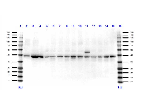 PAX7 Antibody - Western Blot of rabbit anti-Pax7 antibody. Lane 1: Opal Pre-stained ladder Lane 2: Mouse muscle protein lysate. Lane 3: C2C12. Lane 4: Ms spleen. Lane 5: Ms brain. Lane 6: HEK293T. Lane 7: HeLa WCL. Lane 8: MCF7. Lane 9: Jurkat. Lane 10: A431. Lane 11: A549. Lane 12: LNCap. Lane 13: MOLT-4. Lane 14: Ramos. Lane 15: Raji. Lane 16: Opal Pre-stained ladder Load: 10 µg per lane. Primary antibody: Pax7 antibody at 1:1,000 for overnight at RT. Secondary antibody: Peroxidase rabbit secondary antibody at 1:70,000 for 30 min at RT. Blocking Buffer: MB-070 for 30 min at RT. Predicted/Observed size: 55 kDa for Pax7.