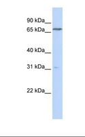 PCCA Antibody - Transfected 293T cell lysate. Antibody concentration: 1.0 ug/ml. Gel concentration: 12%.  This image was taken for the unconjugated form of this product. Other forms have not been tested.