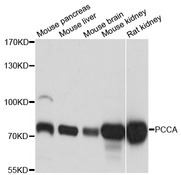 PCCA Antibody - Western blot analysis of extracts of various cell lines.