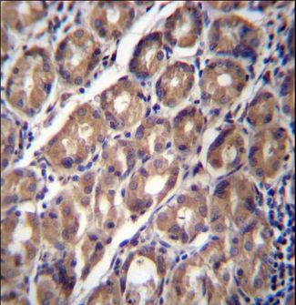 PCDHA12 Antibody immunohistochemistry of formalin-fixed and paraffin-embedded human stomach tissue followed by peroxidase-conjugated secondary antibody and DAB staining.