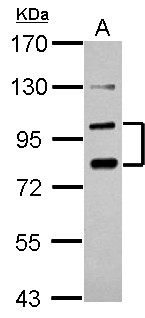 Sample (30 ug of whole cell lysate) A: PC-3 7.5% SDS PAGE PCDHA6 antibody diluted at 1:1000