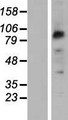 PCDHB2 / Protocadherin Beta 2 Protein - Western validation with an anti-DDK antibody * L: Control HEK293 lysate R: Over-expression lysate