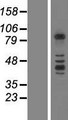 PCDHB3 Protein - Western validation with an anti-DDK antibody * L: Control HEK293 lysate R: Over-expression lysate