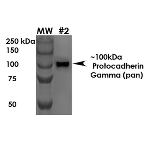 PCDHG / Protocadherin Gamma Antibody - Western Blot analysis of Rat Brain Membrane showing detection of ~100 kDa Protocadherin Gamma protein using Mouse Anti-Protocadherin Gamma Monoclonal Antibody, Clone S159-5. Load: 10 µg. Primary Antibody: Mouse Anti-Protocadherin Gamma Monoclonal Antibody  at 1:1000 for 1 hour at RT. Secondary Antibody: Goat Anti-Mouse HRP at 1:200 for 1 hour at RT. Predicted/Observed Size: ~100 kDa.
