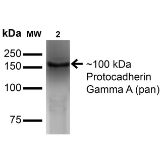 PCDHGA / Protocadherin Gamma A Antibody - Western Blot analysis of Monkey COS cells transfected with GFP-tagged Gamma-protocadherin-A3 showing detection of ~100 kDa Protocadherin Gamma A (pan) protein using Mouse Anti-Protocadherin Gamma A (pan) Monoclonal Antibody, Clone S144-32. Lane 1: Molecular Weight Ladder. Lane 2: Monkey COS cells transfected with GFP-tagged Gamma-protocadherin-A3. Load: 15 µg. Block: 2% BSA and 2% Skim Milk in 1X TBST. Primary Antibody: Mouse Anti-Protocadherin Gamma A (pan) Monoclonal Antibody  at 1:200 for 16 hours at 4°C. Secondary Antibody: Goat Anti-Mouse IgG: HRP at 1:1000 for 1 hour RT. Color Development: ECL solution for 6 min in RT. Predicted/Observed Size: ~100 kDa.