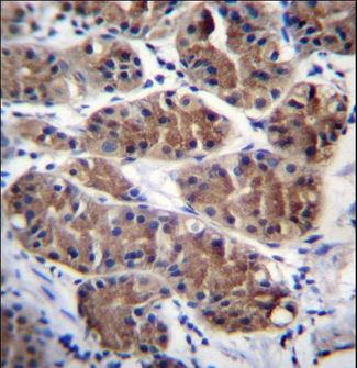 PCDHGC5 Antibody immunohistochemistry of formalin-fixed and paraffin-embedded human stomach tissue followed by peroxidase-conjugated secondary antibody and DAB staining.