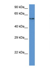 PAF1 antibody Western blot of HepG2 Cell lysate. Antibody concentration 1 ug/ml.  This image was taken for the unconjugated form of this product. Other forms have not been tested.