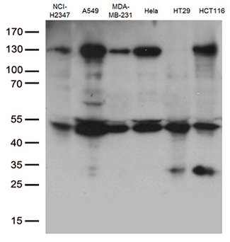 PDCD2L Antibody - Western blot analysis of extracts. (35ug) from 6 cell lines lysates by using anti-PDCD2L monoclonal antibody. (1:500)