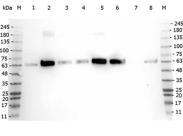 PDCD4 Antibody - Western Blot of rabbit anti-PDCD antibody. Marker: Opal Pre-stained ladder Lane 1: HEK293 lysate Lane 2: HeLa Lysate Lane 3: MCF-7 Lysate Lane 4: Jurkat Lysate Lane 5: A431 Lysate Lane 6: Raji Lsyate Lane 7: Ramos Lysate Lane 8: NIH/3T3 Lysate Load: 35 µg per lane. Primary antibody: PDCD antibody at 1:1,000 for 3hrs at RT. Secondary antibody: Peroxidase rabbit secondary antibody at 1:30,000 for 60 min at RT. Blocking Buffer: 1% Casein-TTBS for 30 min at RT. Predicted/Observed size: 52 kDa for PDCD.