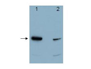 PDCD4 Antibody - Western blot using the affinity purified anti-Pdcd4 antibody shows detection of a band ~52 kDa in size corresponding to Pdcd4 (arrowhead). Lane 1 contains recombinant Pdcd4. Lane 2 contains 293 HEK cells treated with TPA and MG132. The anti-Pdcd4 antibody was used at a 1: 5,000 dilution.