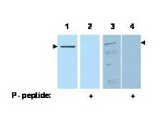 PDCD4 Antibody - Western blot using the affinity purified anti-Pdcd4 pS457 antibody shows detection of Pdcd4 phosphorylated at Ser 457 (arrowheads). Lanes 1 & 2 each contain 100 ng recombinant Pdcd4. Lanes 3 & 4 each contain 30 µg of whole cell extract from 293 HEK cells treated with 20 nM TPA and MG132 proteosome inhibitor for 8 hours. The signal can be competed off with peptide phosphorylated at Ser 457 (Lanes 2 & 4).