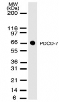 Western blot of 30 ug of total cell lysate from NIH-3T3 cells with antibody at 2 ug/ml dilution.