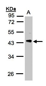 Sample (30 ug whole cell lysate). A: H1299. 10% SDS PAGE. PDCL antibody diluted at 1:3000