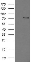 PDE10A Antibody - HEK293T cells were transfected with the pCMV6-ENTRY control (Left lane) or pCMV6-ENTRY PDE10A (Right lane) cDNA for 48 hrs and lysed. Equivalent amounts of cell lysates (5 ug per lane) were separated by SDS-PAGE and immunoblotted with anti-PDE10A.