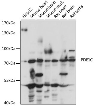 PDE1C Antibody - Western blot analysis of extracts of various cell lines, using PDE1C antibody at 1:1000 dilution. The secondary antibody used was an HRP Goat Anti-Rabbit IgG (H+L) at 1:10000 dilution. Lysates were loaded 25ug per lane and 3% nonfat dry milk in TBST was used for blocking. An ECL Kit was used for detection and the exposure time was 10s.