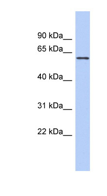 PDE4B antibody western blot of Human fetal heart lysate.  This image was taken for the unconjugated form of this product. Other forms have not been tested.