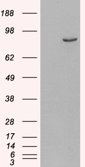 HEK293 overexpressing Human PDE4B (RC211956) and probed with (mock transfection in first lane).