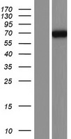 PDE4C Protein - Western validation with an anti-DDK antibody * L: Control HEK293 lysate R: Over-expression lysate